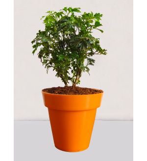 Rolling Nature Green Aralia Plant in Small Orange Colorista Pot