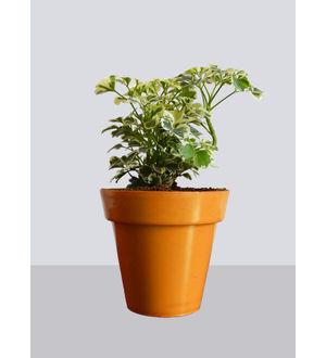 Rolling Nature Snowflake Aralia Plant in Small Orange Colorista Pot