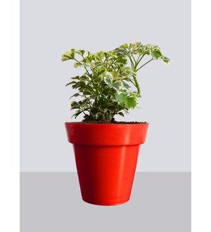 Rolling Nature Snowflake Aralia Plant in Small Red Colorista Pot