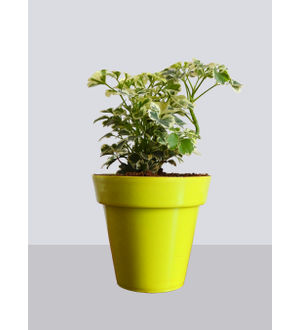 Rolling Nature Snowflake Aralia Plant in Small Yellow Colorista Pot