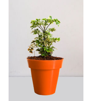 Rolling Nature Variegated Aralia Plant in Small Orange Colorista Pot