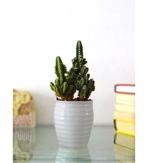 Rolling Nature Cereus Fairy Castle Cactus Plant in White Ceramic Pot