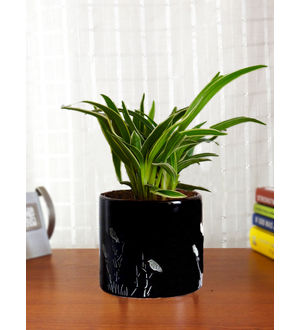 Air Purifying Spider Plant in Black Barrel Aroez Ceramic Planter