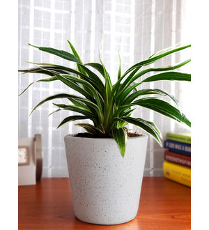 Air Purifying Spider Plant in White Dew Bucket Ceramic Pot