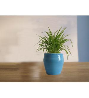 Air Purifying Spider Plant in Blue Iris Ceramic Pot