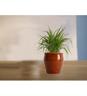 Air Purifying Spider Plant in (Red or Orange or Brown) Iris Ceramic Pot