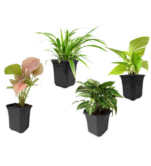 Spider Plant, Golden Pothos, Syngonium Green, Syngonium Pink Combo of Air Purifying Plants in Black Hexa Pot