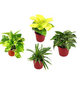 Spider Plant, Money Plant, Golden Pothos, Syngonium Green Combo of Air Purifying Plants