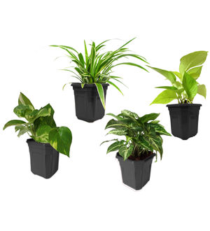 Spider Plant, Money Plant, Golden Pothos, Syngonium Green Combo of Air Purifying Plants in Black Hexa Pot