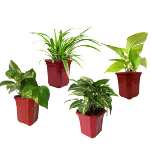 Spider Plant, Money Plant, Golden Pothos, Syngonium Green  Combo of Air Purifying Plants in Maroon Hexa Pot