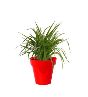 Rolling Nature Air Purifying Spider Plant in Small Red Colorista Pot