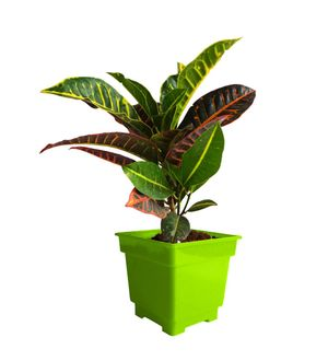 Croton Petra in Green Square Colorista Pot