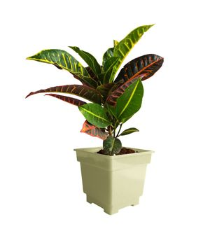 Croton Petra in White Square Colorista Pot
