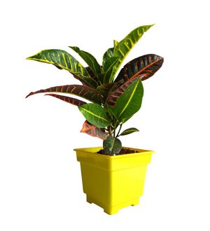 Croton Petra in Yellow Square Colorista Pot