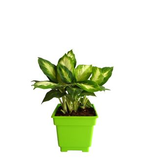 Dieffenbachia Camilla in Green Square Colorista Pot