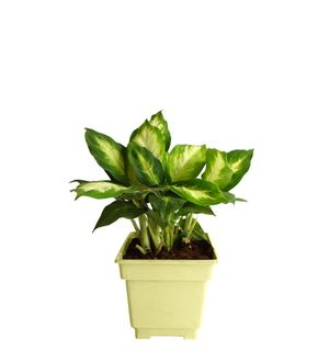 Dieffenbachia Camilla in White Square Colorista Pot