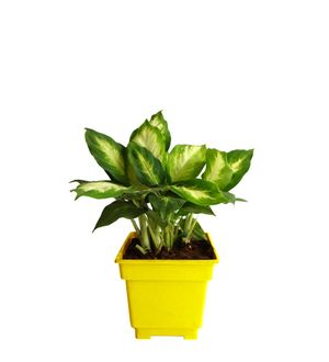 Dieffenbachia Camilla in Yellow Square Colorista Pot