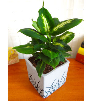 Rolling Nature Dieffenbachia Camilla Plant in White Square Aroez Ceramic Pot
