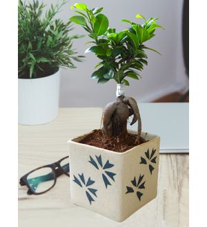 Ficus Bonsai in Square Cream Aroez Ceramic Pot