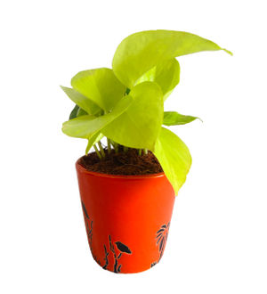 Good Luck Golden Money Plant  in Orange Bucket Aroez Ceramic Pot