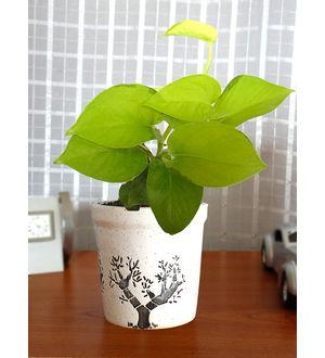 Good Luck Air Purifying Live Golden Money Plant GPCEJRAR-W