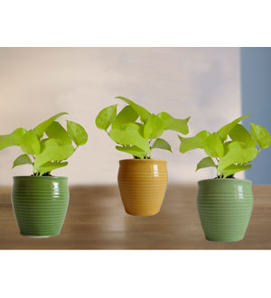 Combo of Good Luck Golden Pothos Plant in Green or Light Green and Yellow Iris Ceramic Pot