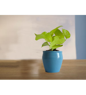 Good Luck Golden Money Plant in Blue Iris Ceramic Pot