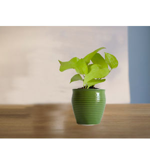 Good Luck Golden Money Plant in (Green or Light Green or Yellow) Iris Ceramic Pot