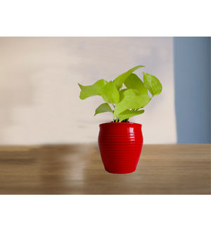 Good Luck Golden Money Plant in (Red or Orange or Brown) Iris Ceramic Pot