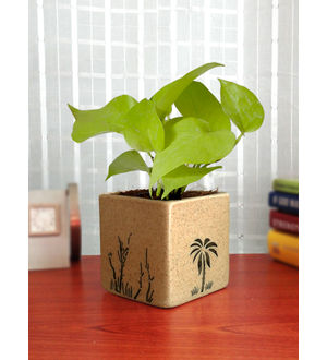Good Luck Air Purifying Live Golden Money Plant GPCESQAR-BR