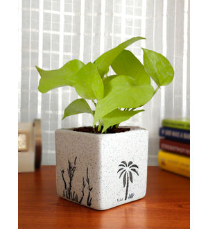 Good Luck Air Purifying Live Golden Money Plant GPCESQAR-W