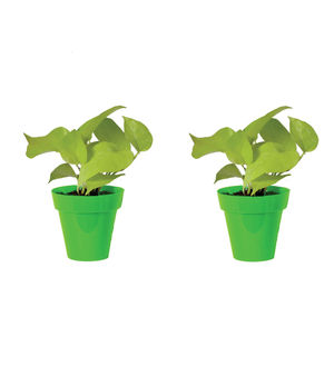 Rolling Nature Combo of Good Luck Golden Money Plant in Small Green Colorista Pot Set of 2