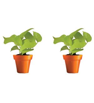 Rolling Nature Combo of Good Luck Golden Money Plant in Small Orange Colorista Pot Set of 2