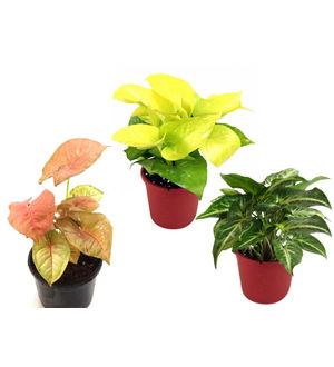 Combo of Good Luck Golden Money Plant, Pink Syngonium and Syngonium Green