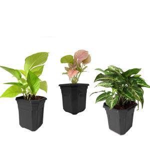 Combo of Good Luck Golden Money Plant, Pink Syngonium and Syngonium Green in Black Hexa Pot