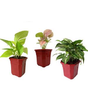 Combo of Good Luck Golden Money Plant, Pink Syngonium and Syngonium Green in Maroon Hexa Pot