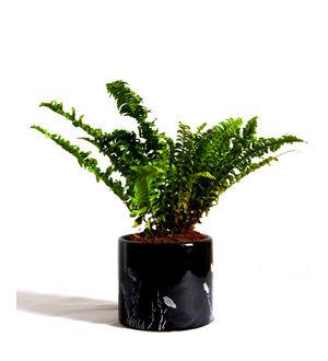 Air Purifying Green Fern Plant in Black Barrel Aroez Ceramic Pot