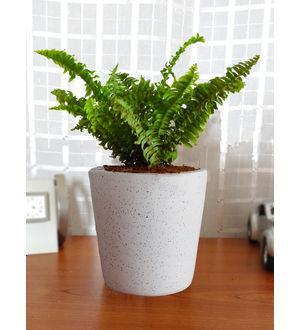 Air Purifying Live Green Fern Plant GRFECEBUDW-W