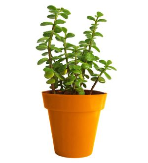 Good Luck Jade Plant in Orange Colorista Pot