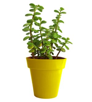 Good Luck Jade Plant in Yellow Colorista Pot