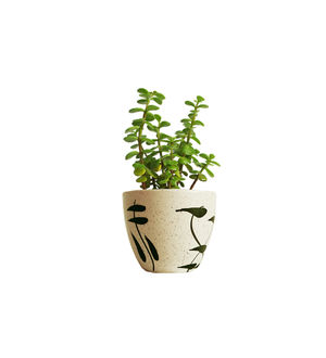 Good Luck Jade Plant in Cream Aroez Ceramic Pot