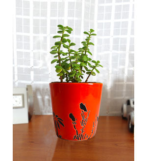 Good Luck Jade Plant in Orange Bucket Aroez Ceramic