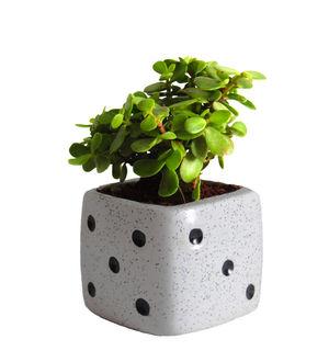Good Luck Jade Plant in White Dice Ceramic Pot