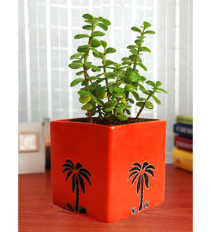 Good Luck Jade Plant in Orange Cube Aroez Ceramic Pot