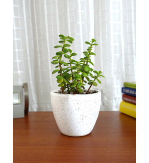 Rolling Nature Good Luck Jade Plant in White Round Dew Ceramic Pot