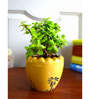Good Luck Jade Plant In Yellow Ruffel Aroez Ceramic Pot
