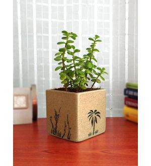 Rolling Nature Good Luck Jade Plant in Brown Square Aroez Ceramic Pot