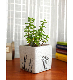 Rolling Nature Good Luck Jade Plant in White Square Aroez Ceramic Pot