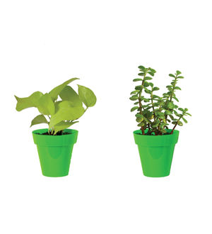 Rolling Nature Combo of Good Luck Golden Money Plant and Jade Plant  in Small Green Colorista Pot