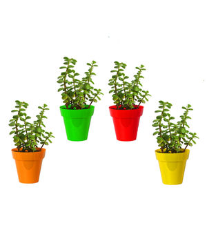 Rolling Nature Combo of Good Luck Jade Plant in Small Red, Green, Yellow and Orange Colorista